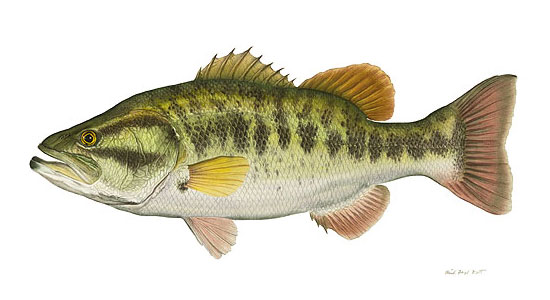 Largemouth Bass...
