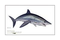 Alpha Shortfin Mako<br> OPEN EDITION PRINT