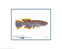 Steel-blue Killifish<br> OPEN EDITION PRINT