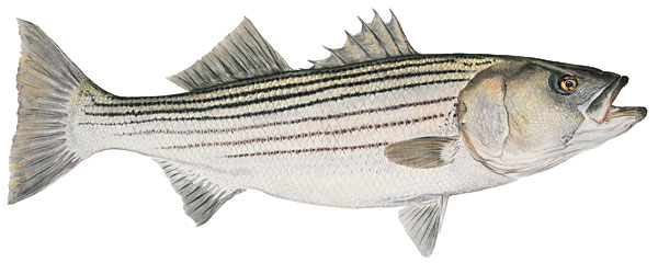 Mature Striped Bass<br> SMALLWORK CANVAS EDITION