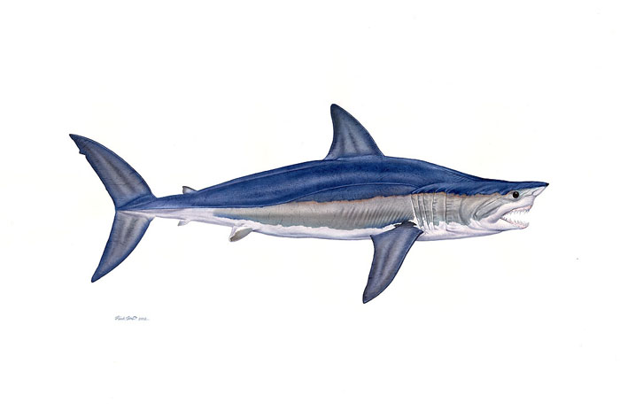 """Alpha Shortfin Mako"" by Flick Ford"