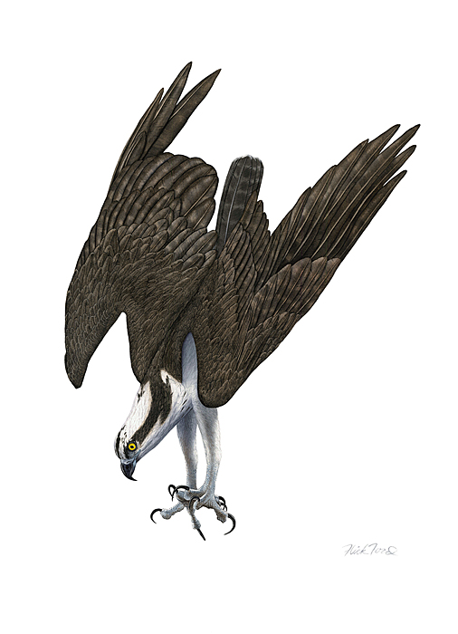 Flick Ford - Diving Osprey -  LIMITED EDITION CANVAS Published by the Greenwich Workshop