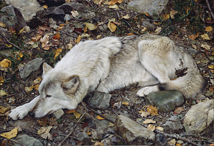 Carl Brenders - The Fall Guy - Tundra Wolf -  MASTERWORK CANVAS EDITION Published by the Greenwich Workshop