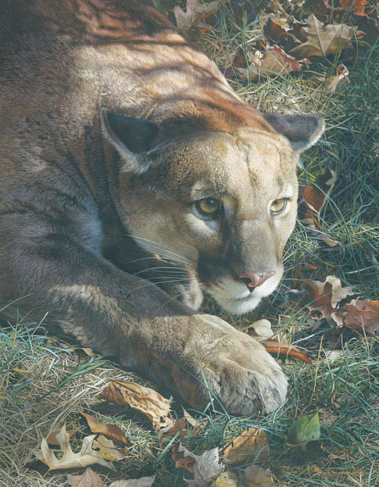 Carl Brenders - Stalking - Cougar -  LIMITED EDITION CANVAS Published by the Greenwich Workshop