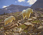 GLACIER GOATS&lt;br&gt; LIMITED EDITION PRINT