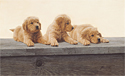 Golden Retriever Puppies<br> ANNIVERSARY EDITION CANVAS