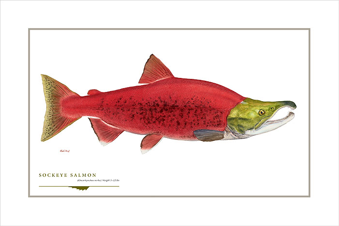 Flick Ford - Sockeye Salmon -  OPEN EDITION PRINT Published by the Greenwich Workshop