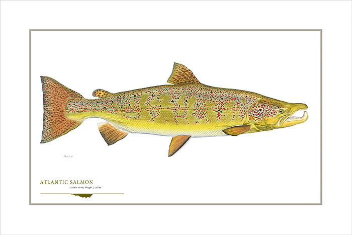 Flick Ford - Atlantic Salmon -  OPEN EDITION PRINT Published by the Greenwich Workshop
