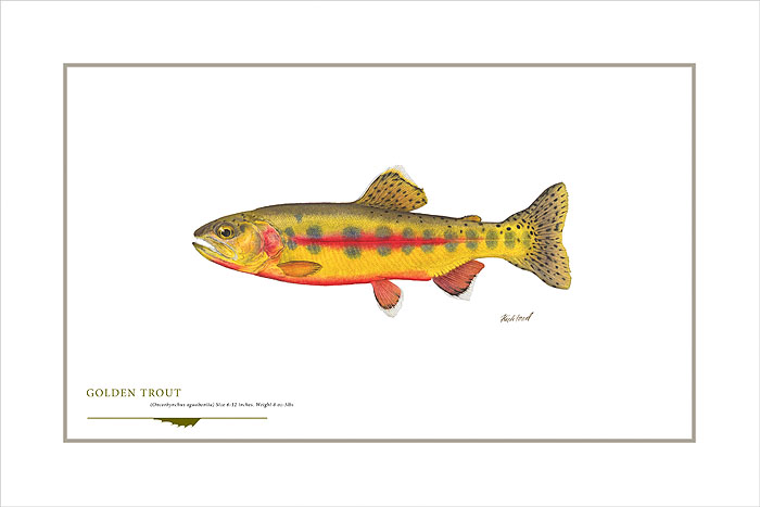 Flick Ford - Golden Trout -  OPEN EDITION PRINT Published by the Greenwich Workshop