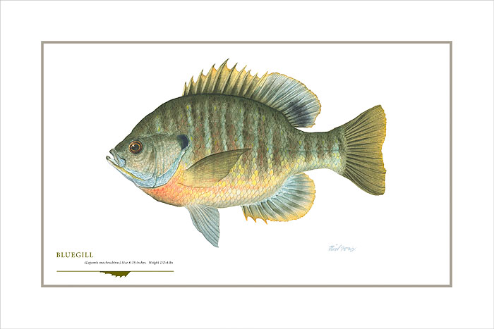 Flick Ford - Bluegill -  OPEN EDITION PRINT Published by the Greenwich Workshop