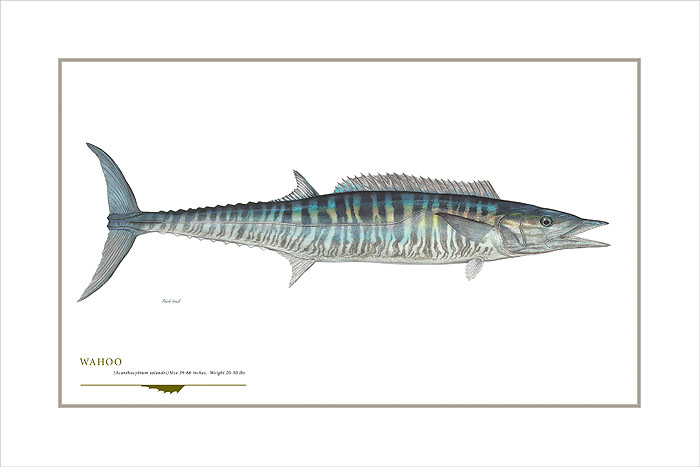 Flick Ford - Wahoo Mackerel -  OPEN EDITION PRINT Published by the Greenwich Workshop
