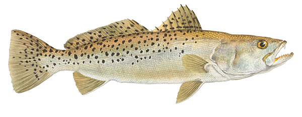 Flick Ford - Spotted Seatrout -  OPEN EDITION PRINT Published by the Greenwich Workshop