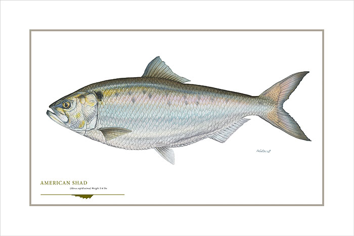 Flick Ford - American Shad -  OPEN EDITION PRINT Published by the Greenwich Workshop