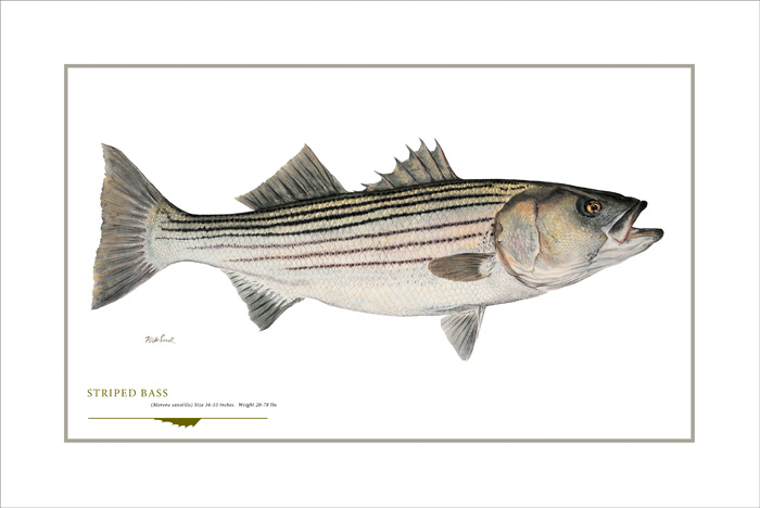 Flick Ford - Striped Bass -  OPEN EDITION PRINT Published by the Greenwich Workshop