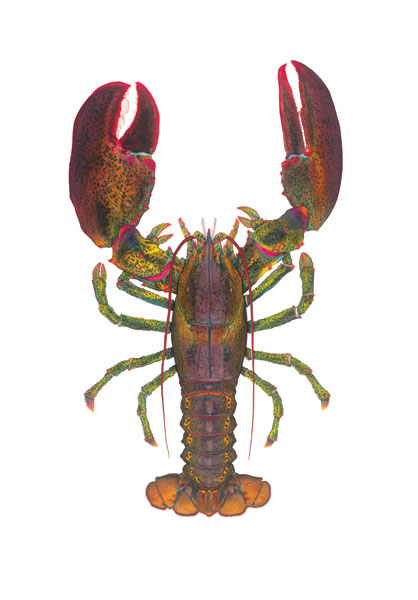 Flick Ford - 1 1/2 lb Lobster -  OPEN EDITION PRINT Published by the Greenwich Workshop
