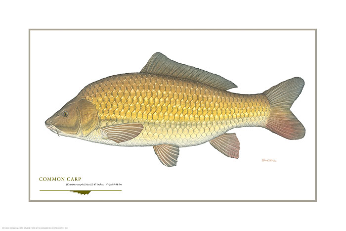 Flick Ford - Common Carp -  OPEN EDITION PRINT Published by the Greenwich Workshop