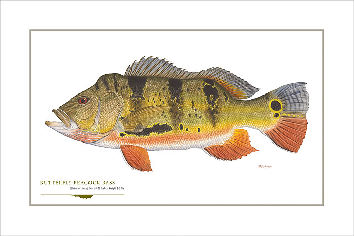 Flick Ford - Butterfly Peacock Bass -  OPEN EDITION PRINT Published by the Greenwich Workshop