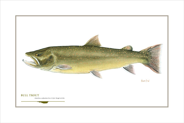 Flick Ford - Bull Trout -  OPEN EDITION PRINT Published by the Greenwich Workshop