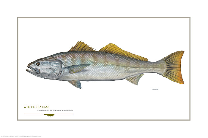 Flick Ford - White Seabass -  OPEN EDITION PRINT Published by the Greenwich Workshop