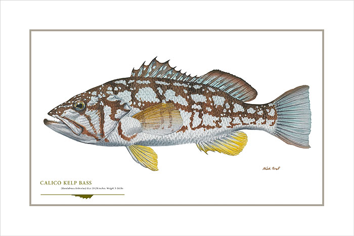 Flick Ford - Calico Kelp Bass -  OPEN EDITION PRINT Published by the Greenwich Workshop