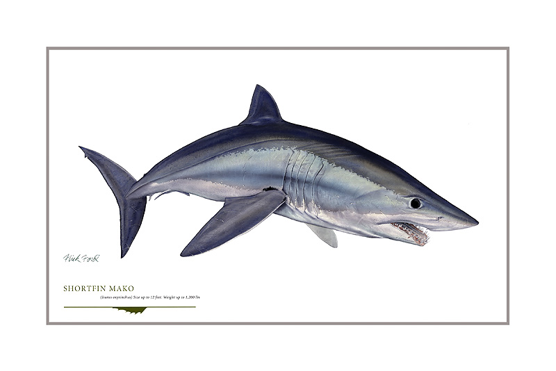 Flick Ford - Shortfin Mako -  OPEN EDITION PRINT Published by the Greenwich Workshop