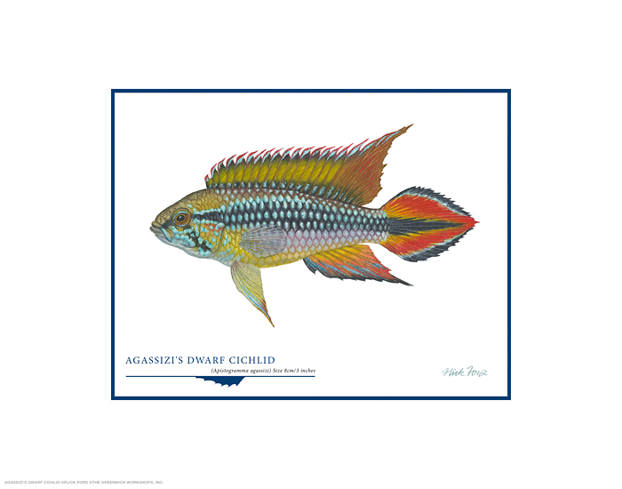 &quot;Agassizi's Dwarf Cichlid&quot; by Flick Ford