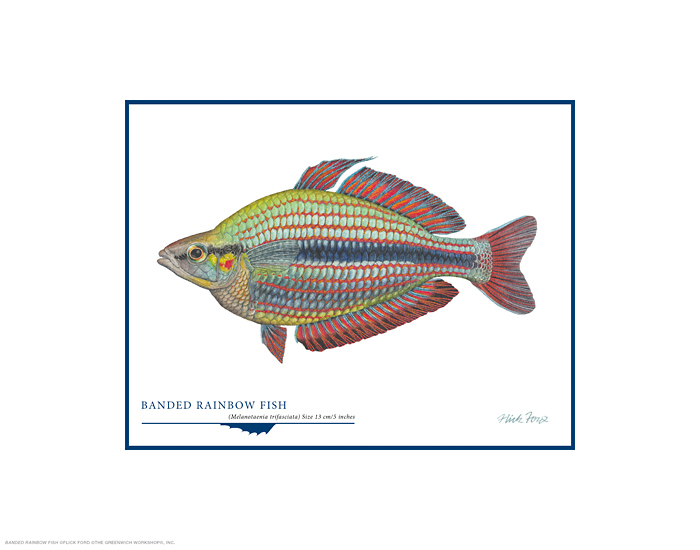 Flick Ford - Banded Rainbow Fish -  OPEN EDITION PRINT Published by the Greenwich Workshop