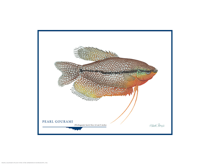 Flick Ford - Pearl Gourami -  OPEN EDITION PRINT Published by the Greenwich Workshop
