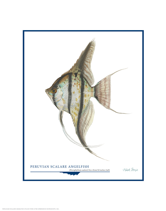 Flick Ford - Peruvian Scalare Angel Fish -  OPEN EDITION PRINT Published by the Greenwich Workshop