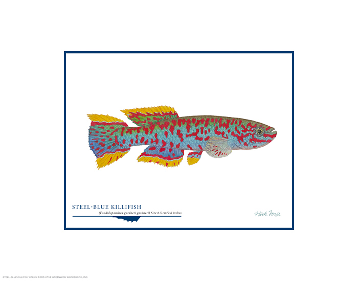 Flick Ford - Steel-blue Killifish -  OPEN EDITION PRINT Published by the Greenwich Workshop