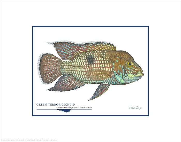 Flick Ford - Green Terror Cichlid -  OPEN EDITION PRINT Published by the Greenwich Workshop