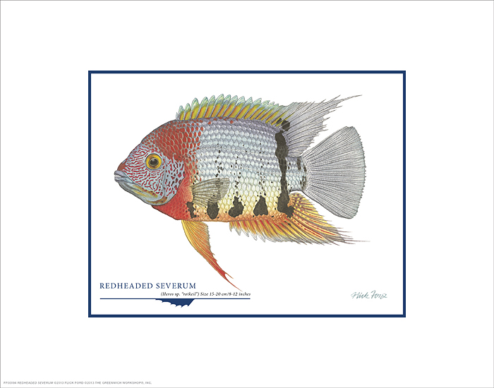 Flick Ford - Redheaded Severum -  OPEN EDITION PRINT Published by the Greenwich Workshop