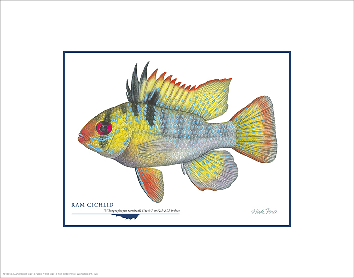 Flick Ford - Ram Cichlid -  OPEN EDITION PRINT Published by the Greenwich Workshop