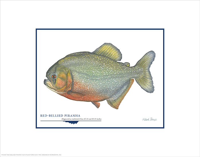 Flick Ford - Red-Bellied Piranha -  OPEN EDITION PRINT Published by the Greenwich Workshop