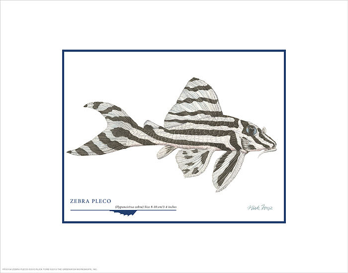 Flick Ford - Zebra Pleco -  OPEN EDITION PRINT Published by the Greenwich Workshop