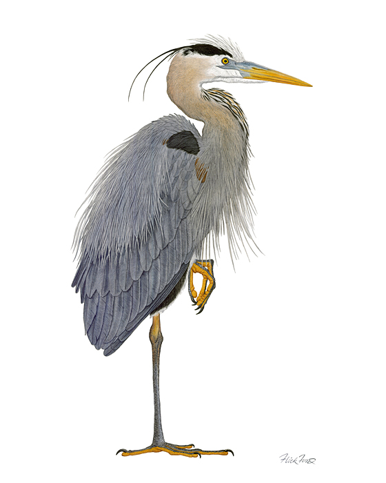 Flick Ford - Great Blue Heron (8) -  OPEN EDITION PRINT Published by the Greenwich Workshop