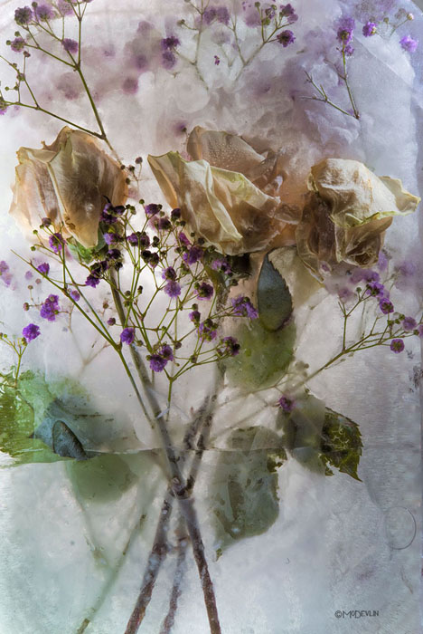 Mo Devlin - Rose with Purple Highlights -  OPEN EDITION CANVAS Published by the Greenwich Workshop